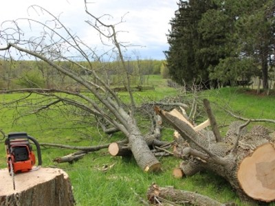 fallen ash tree and chainsaw