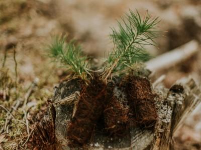 tree seedlings